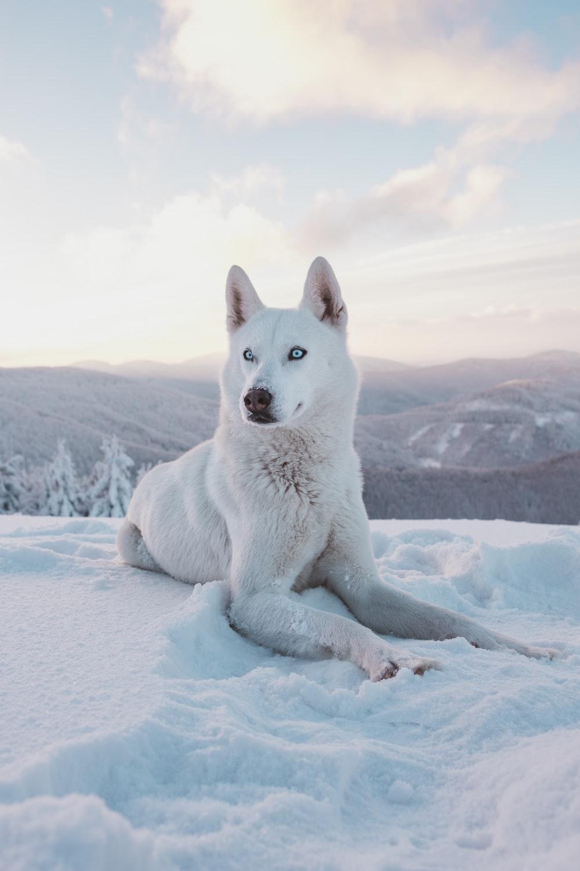 Husky Wallpapers HD Download [500 HQ] Unsplash 1000x1500