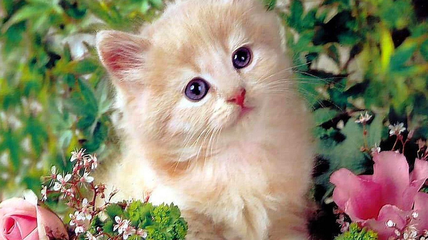Kitty Cat Wallpaper  WallpaperSafari