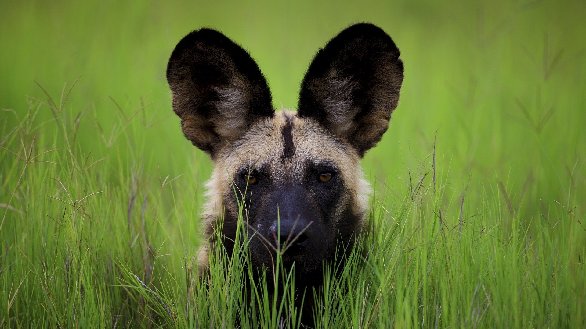 Botswana Wild Dog HD Wallpaper Background Image 1920x1080 ID 1920x1080