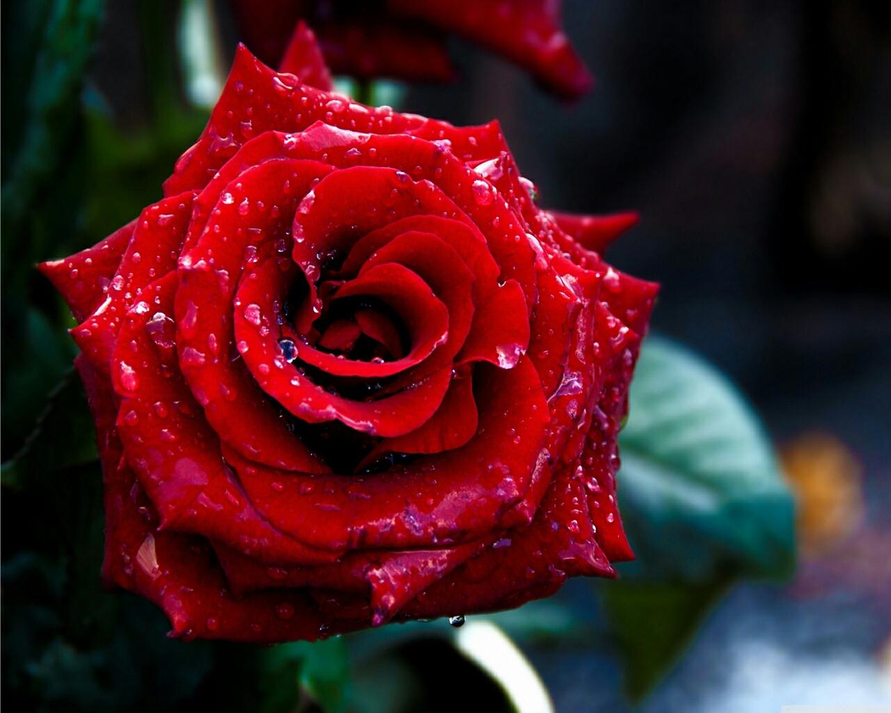Red Rose Flowers Wallpapers Wallpapersafari