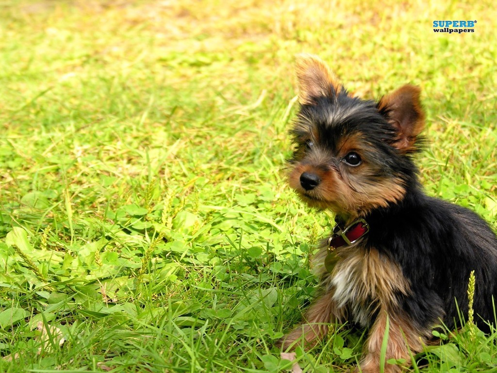 1024x768 wallpaper of yorkies - photo #4