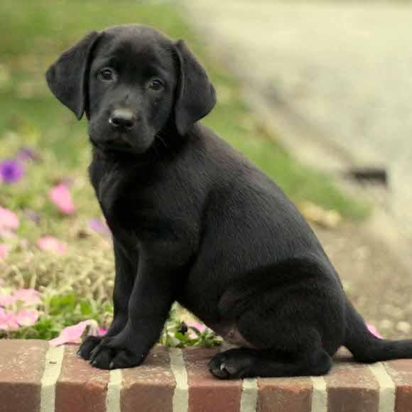 Cute Lab Puppies Wallpaper