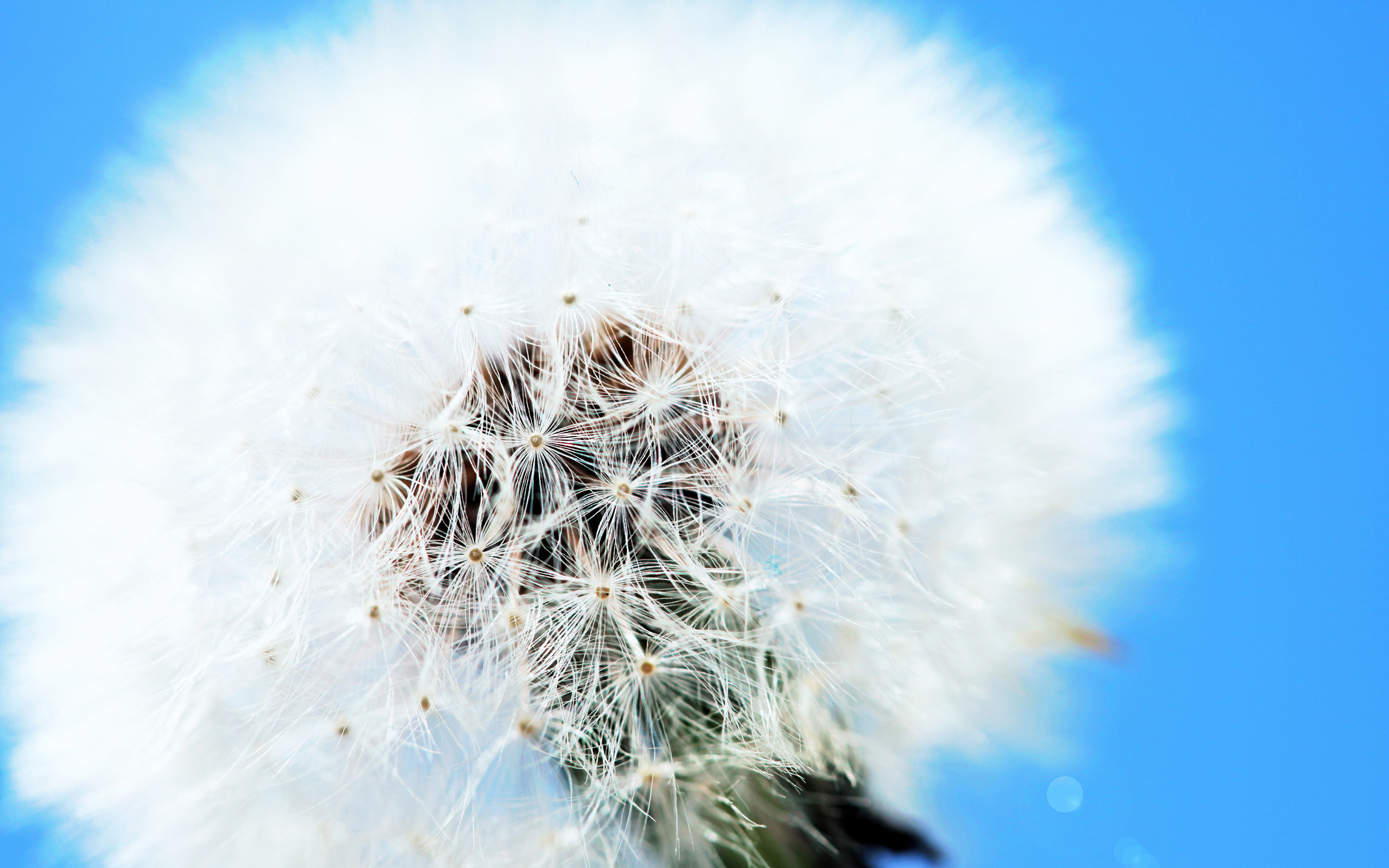 White Dandelion Wallpapers | HD Wallpapers
