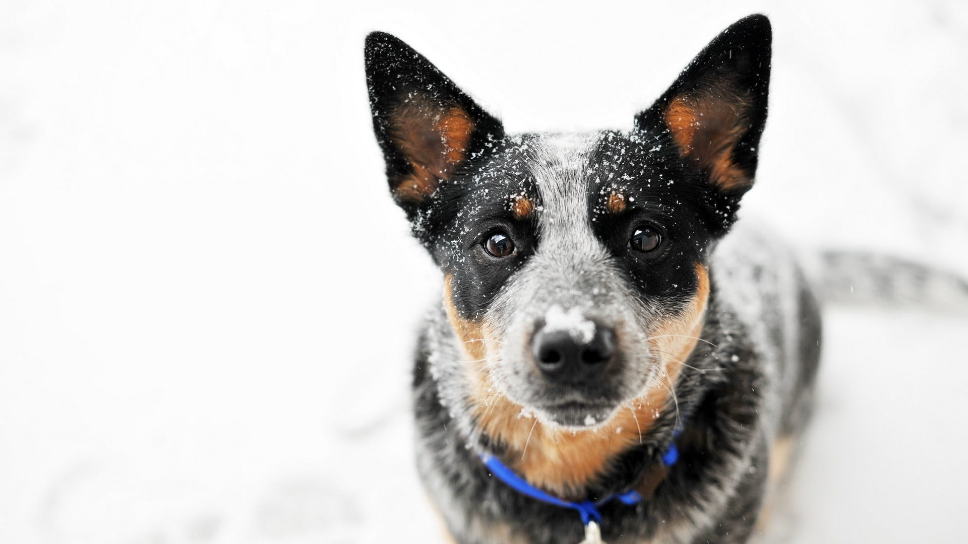 Short coated black dog animals dog snow Blue Heeler HD 1920x1080