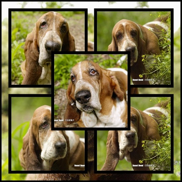 Basset Hound Wallpaper...