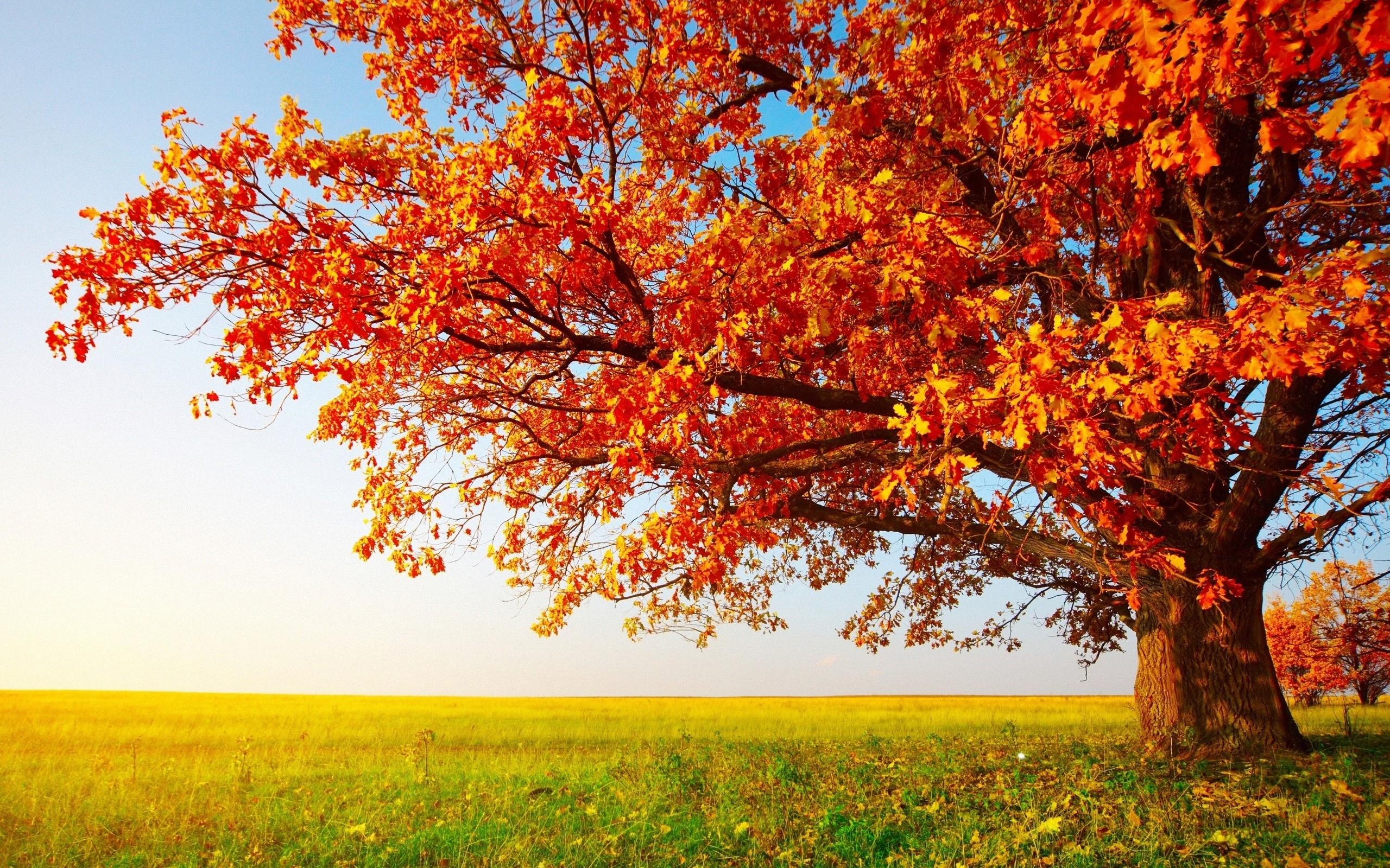 Download Big Autumn Tree Wallpaper Wallpapers 2560x1600