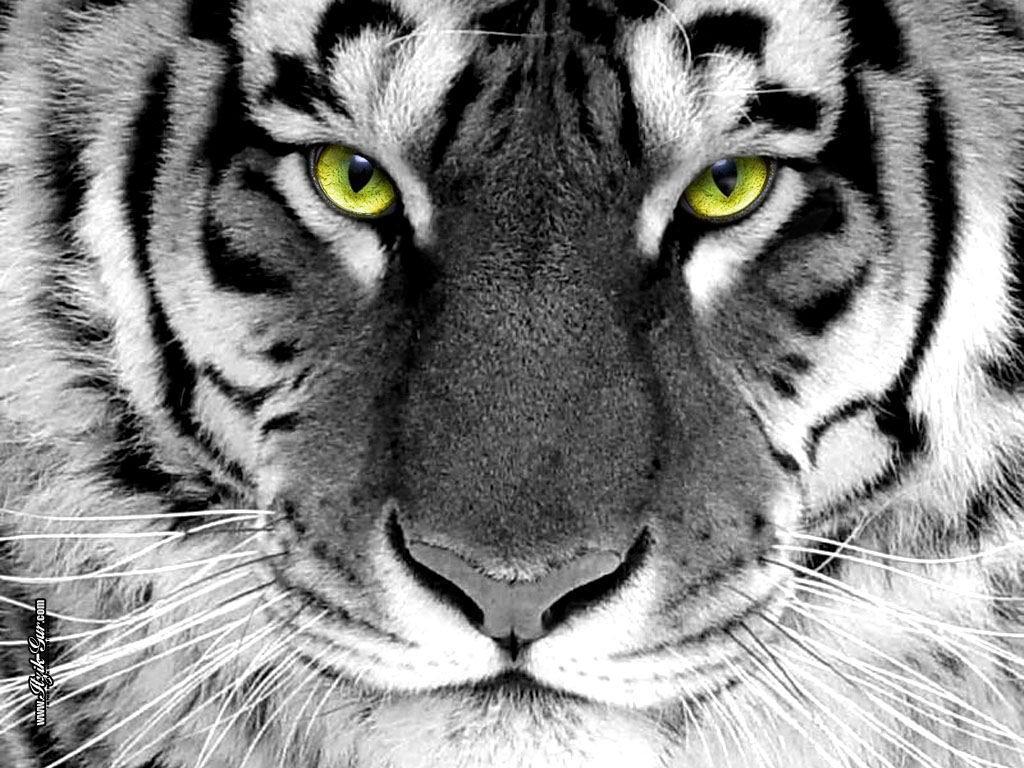 Unique Animals blogs White Tiger Wallpapers for Desktop 1024x768