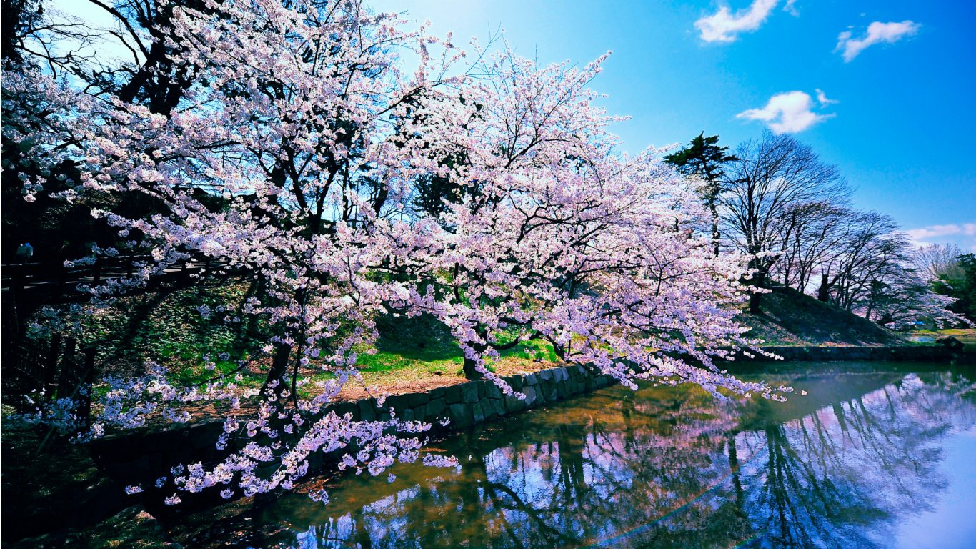 Cherry Blossom Trees HD Wallpaper Slwallpapers 1366x768