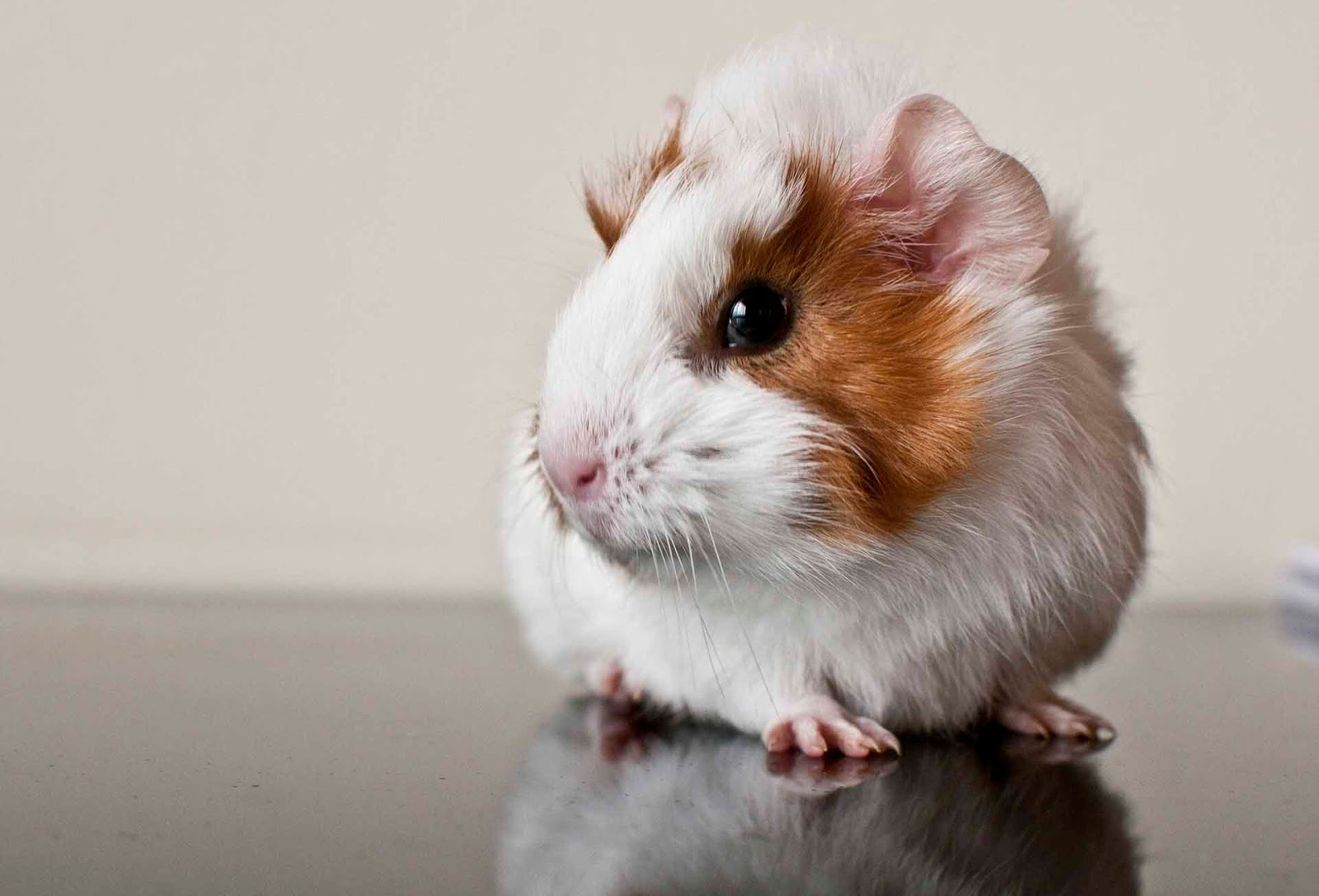 HQ Wallpapers Guinea Pig Wallpapers 1600x1087
