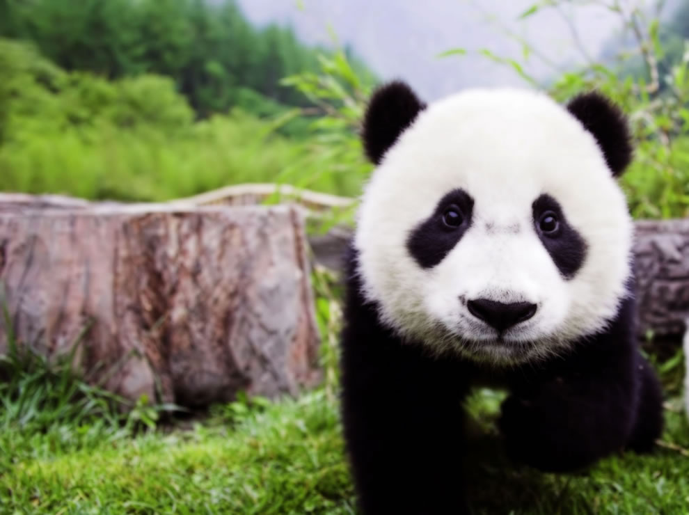 pandas like this cute giant panda cub Photo 1 by Insane Wallpapers 990x740