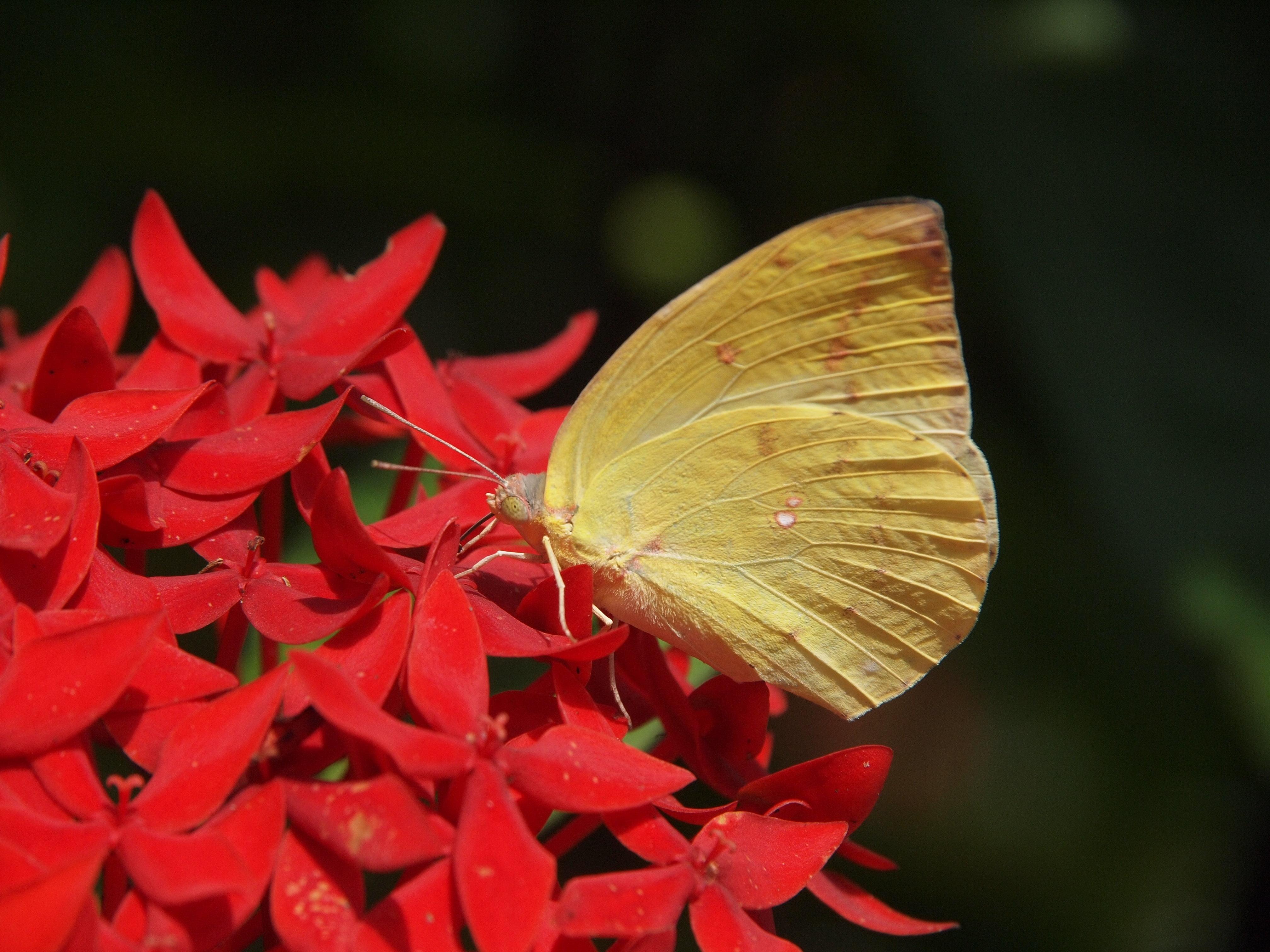 Sulfur butterfly on yellow petaled flower HD wallpaper Wallpaper 4032x3024
