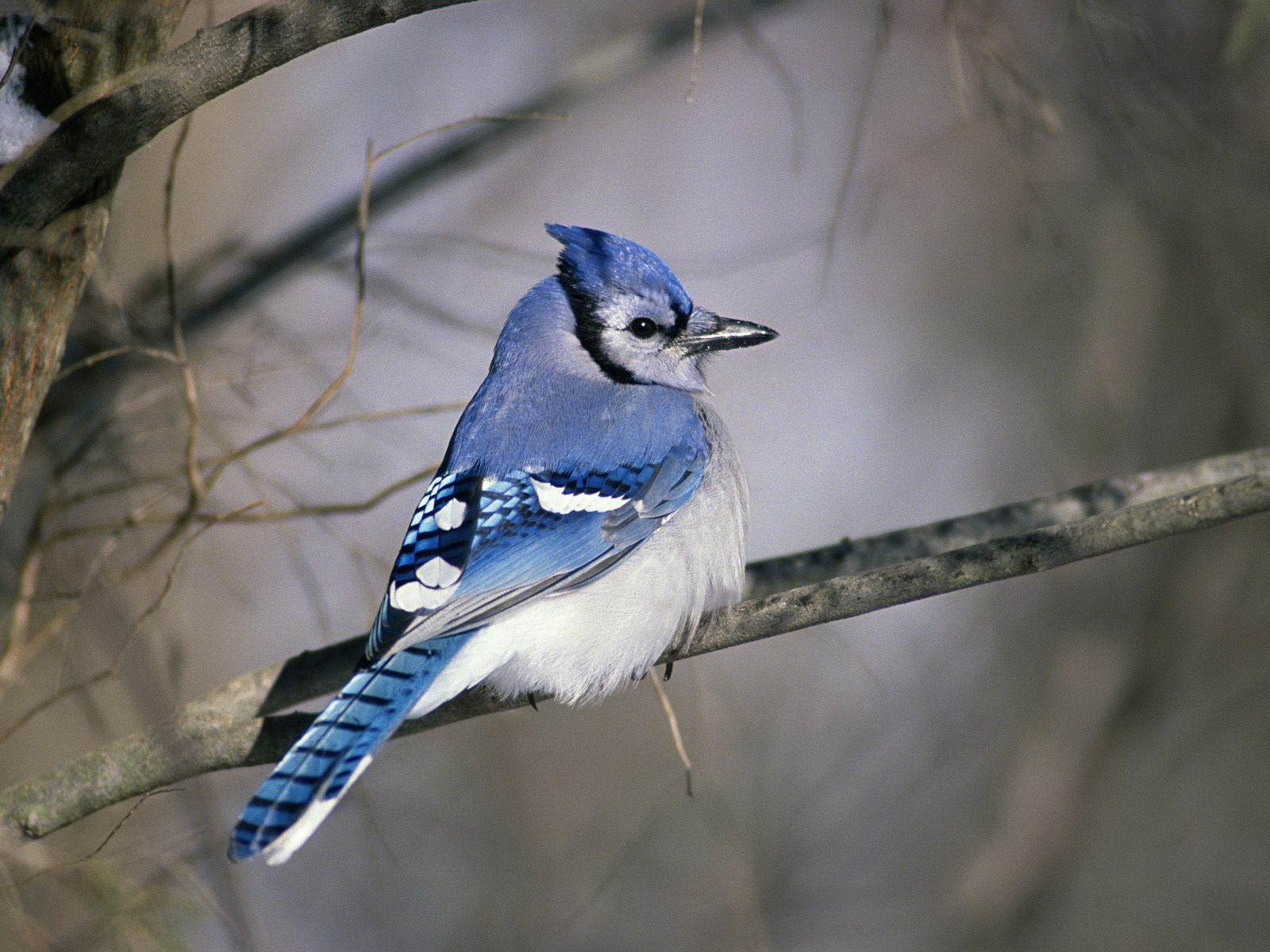Download Blue Jay Wallpaper Wallpaper Full HD Wallpapers 1600x1200