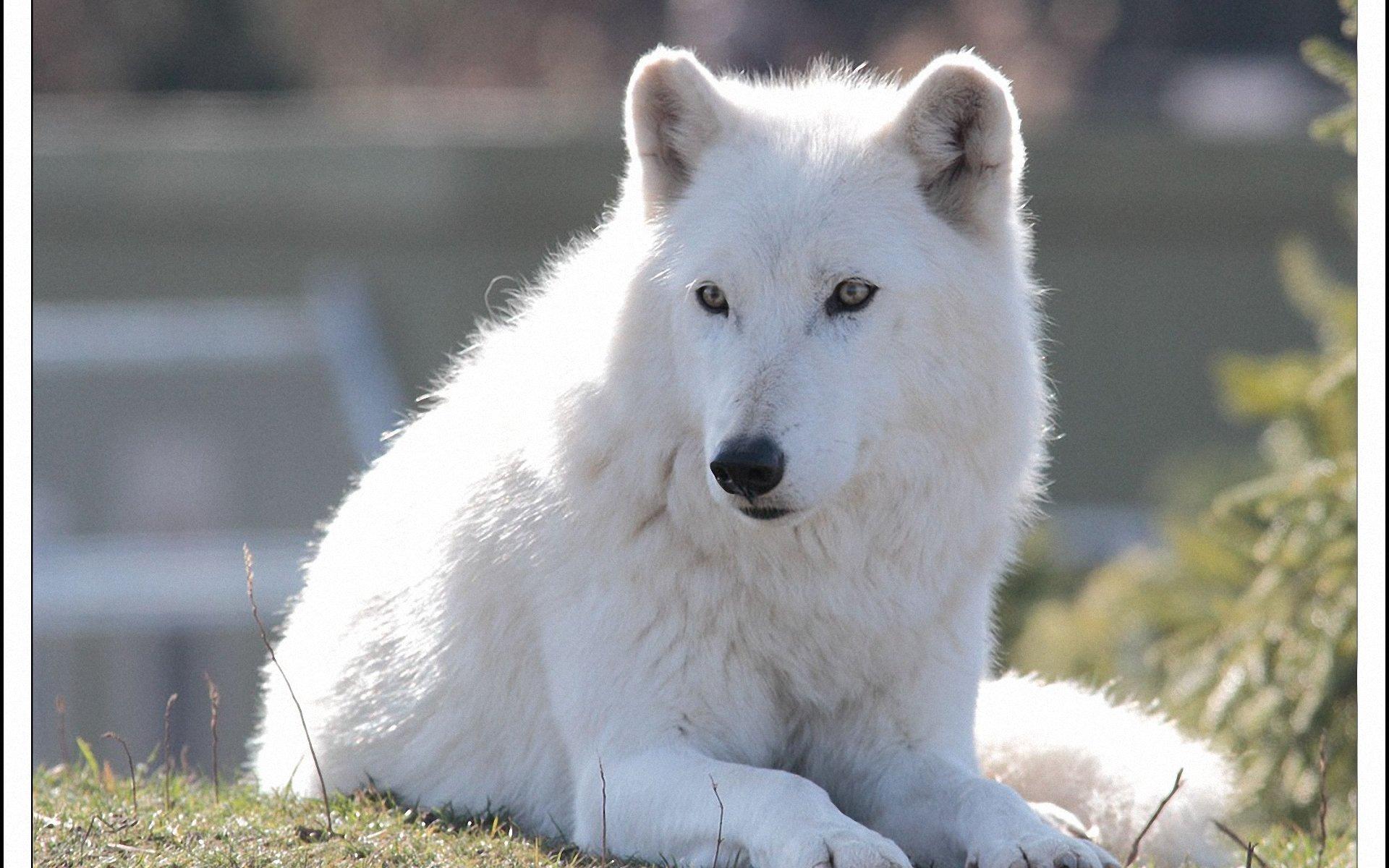 Animal Jam Arctic Wolf Wallpaper - WallpaperSafari