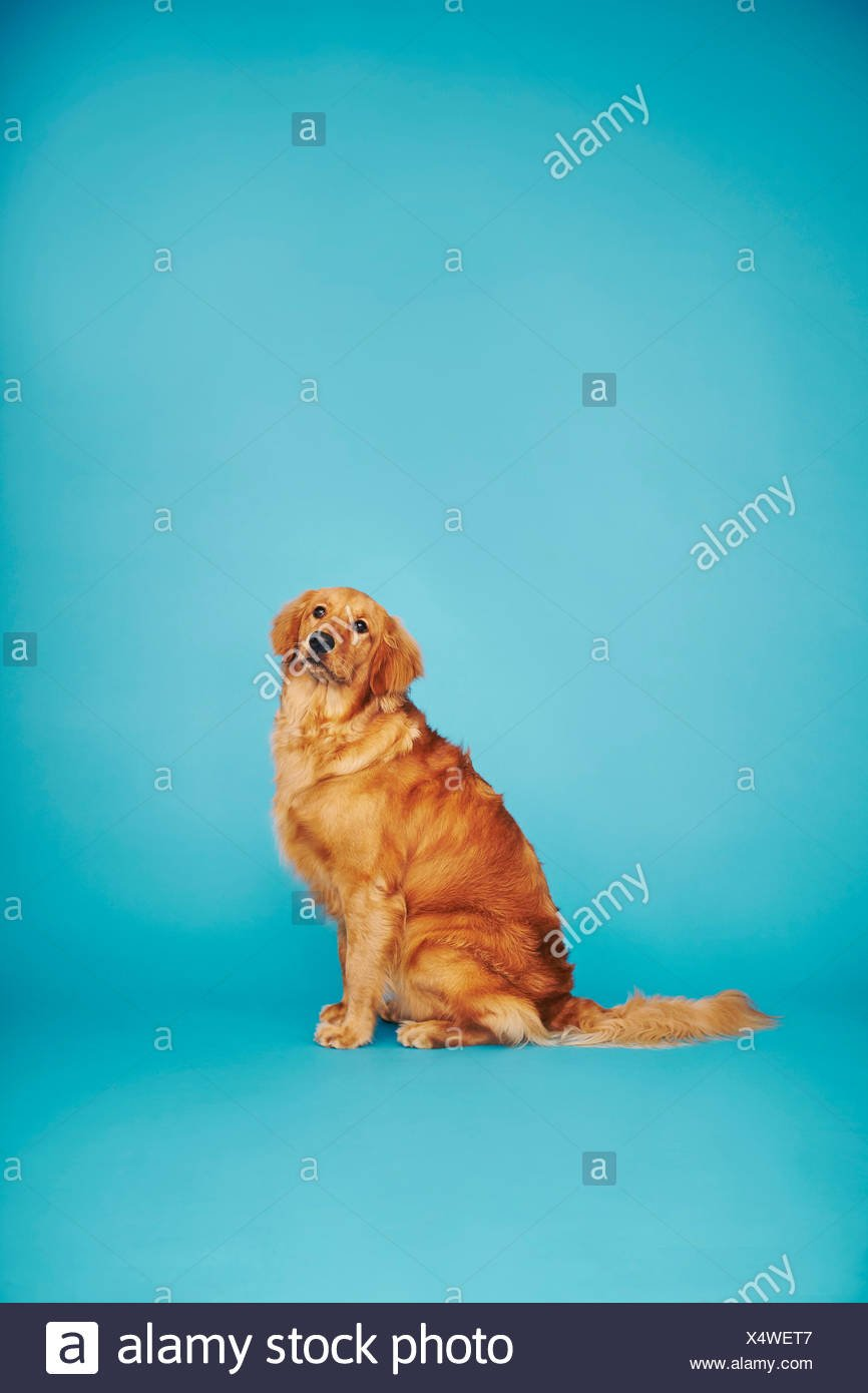 Portrait of golden retriever against blue background Stock Photo 866x1390