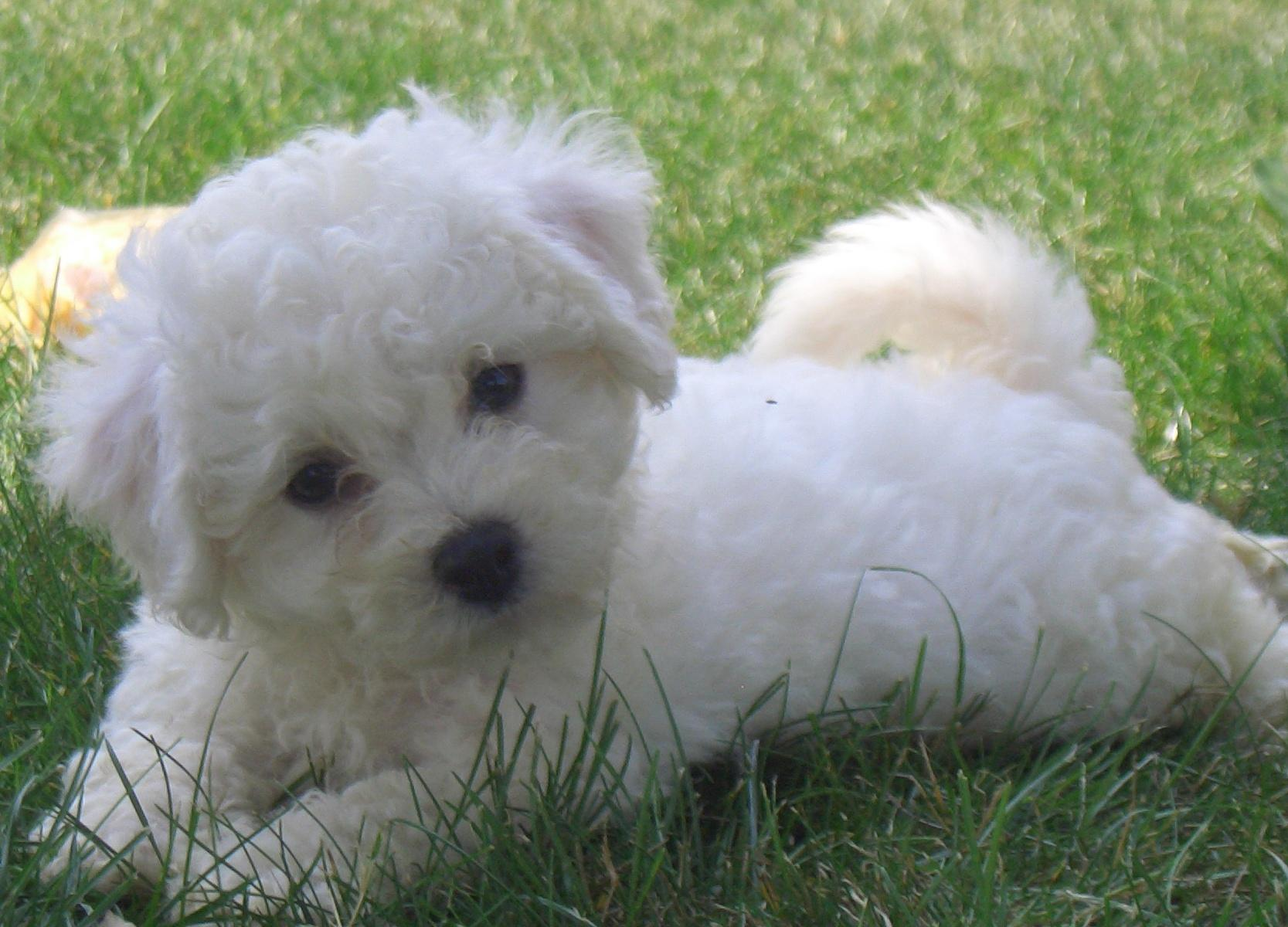 Teacup Bichon Frise For Sale 39 Background Wallpaper 1667x1200