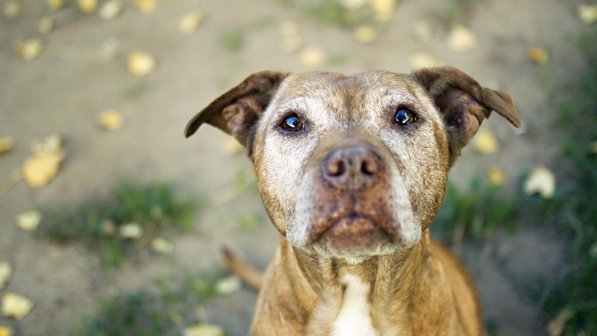 Cute Dog Pitbull Puppies HD Wallpaper Cute Dog Pitbull Puppies 1920x1080