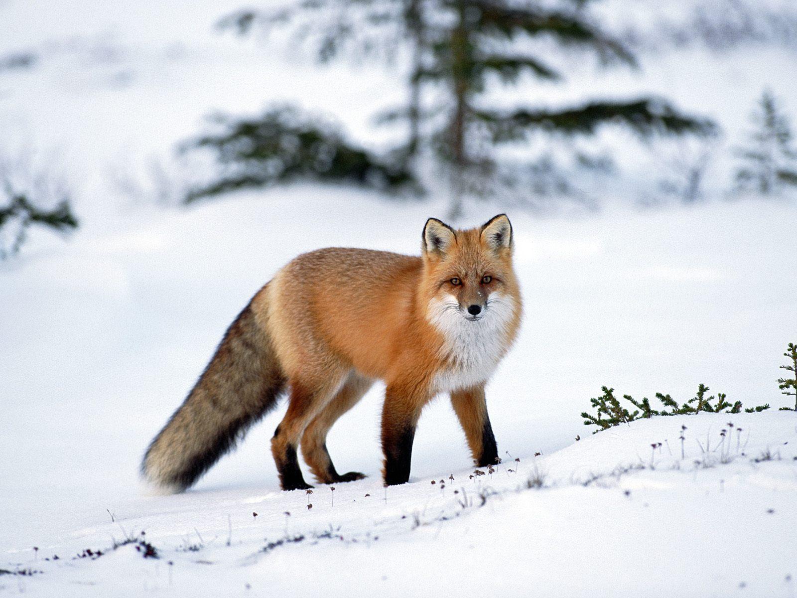 The best top desktop fox wallpapers hd fox wallpaper 1 red fox in the 1600x1200