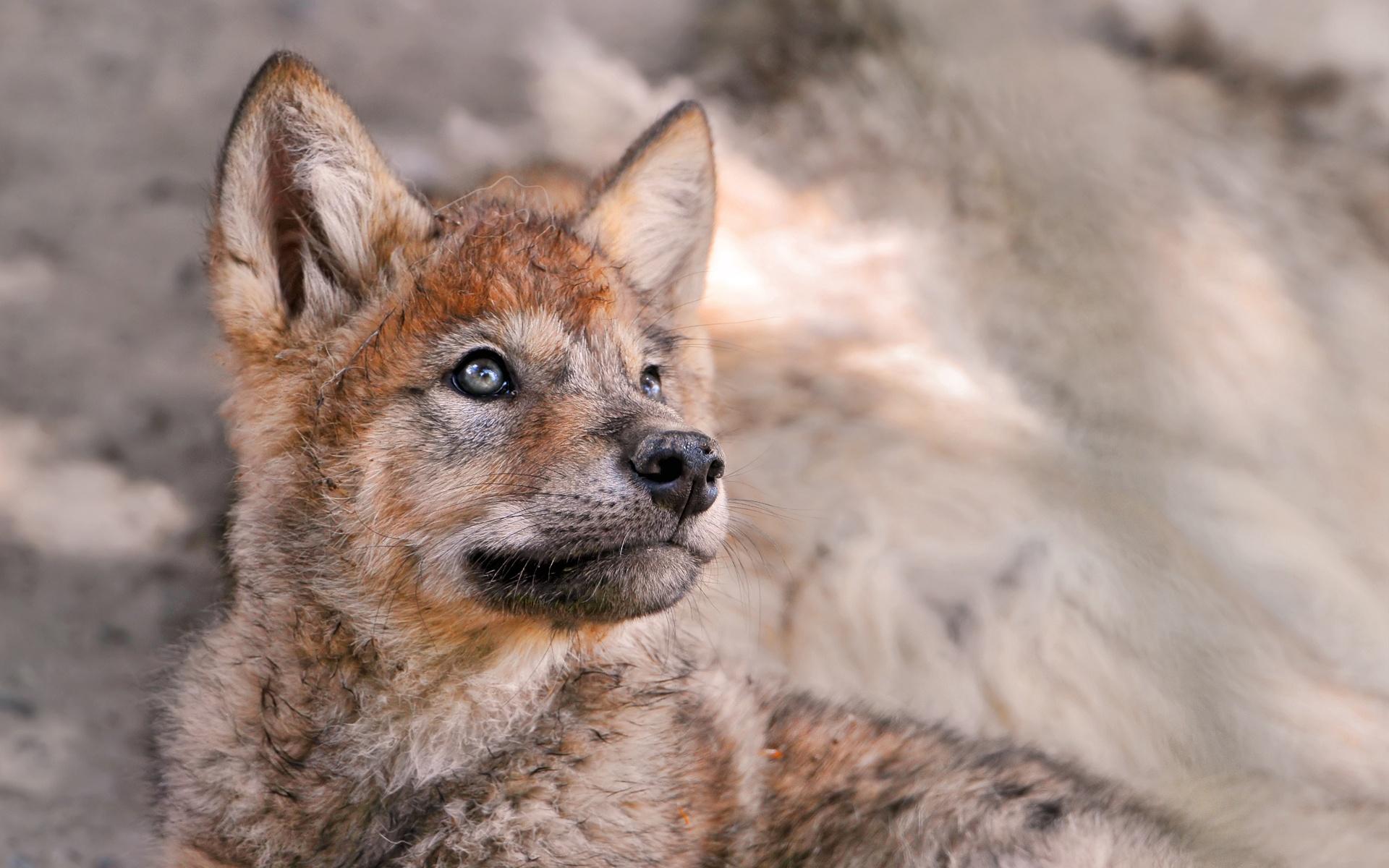 47+] Cute Baby Wolf Wallpaper on WallpaperSafari