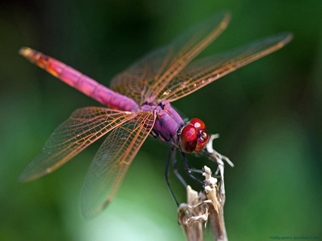 Dragonfly Wallpapers 1024x768