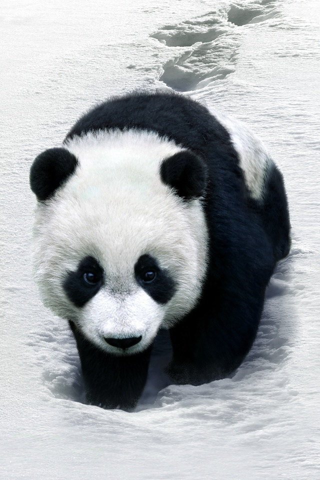 Panda Simply beautiful iPhone wallpapers 640x960