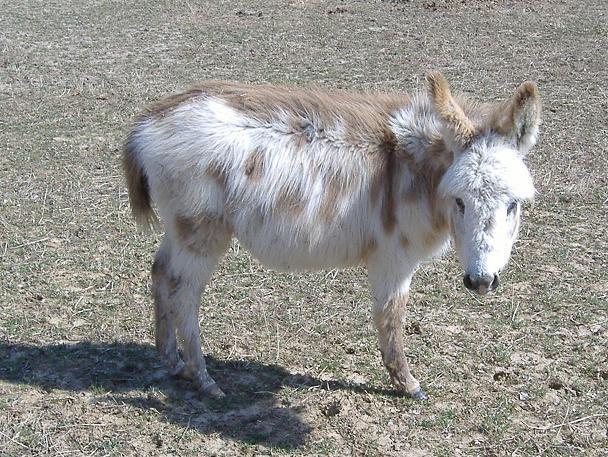 kinder goat breeders in ohio 608x457