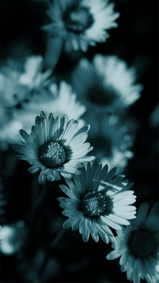 tumblr-daisy-background