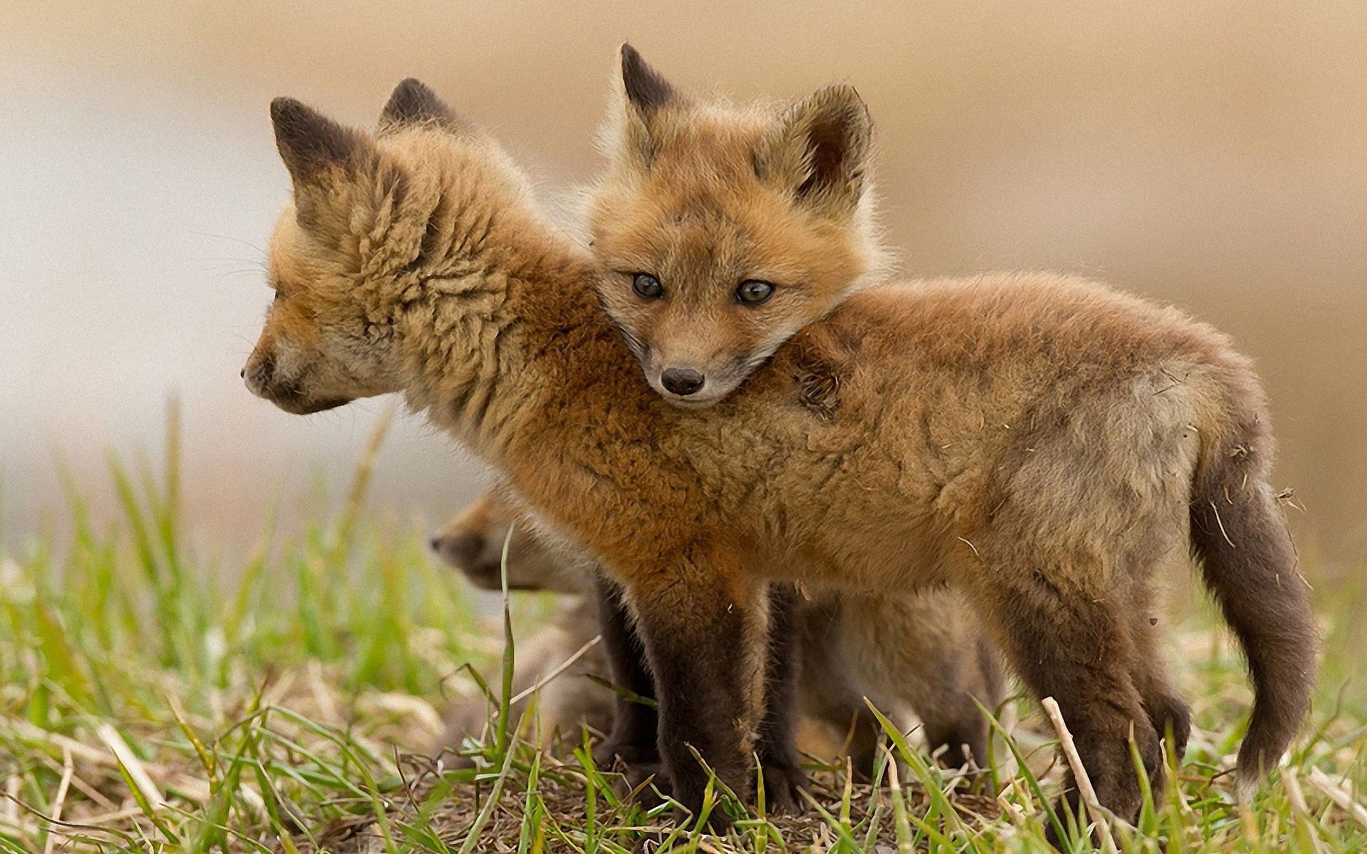 Fox Cubs wallpapers Fox Cubs stock photos 1920x1200