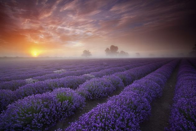 Beautiful Lavender Fields   Natures Wallpapers 630x420