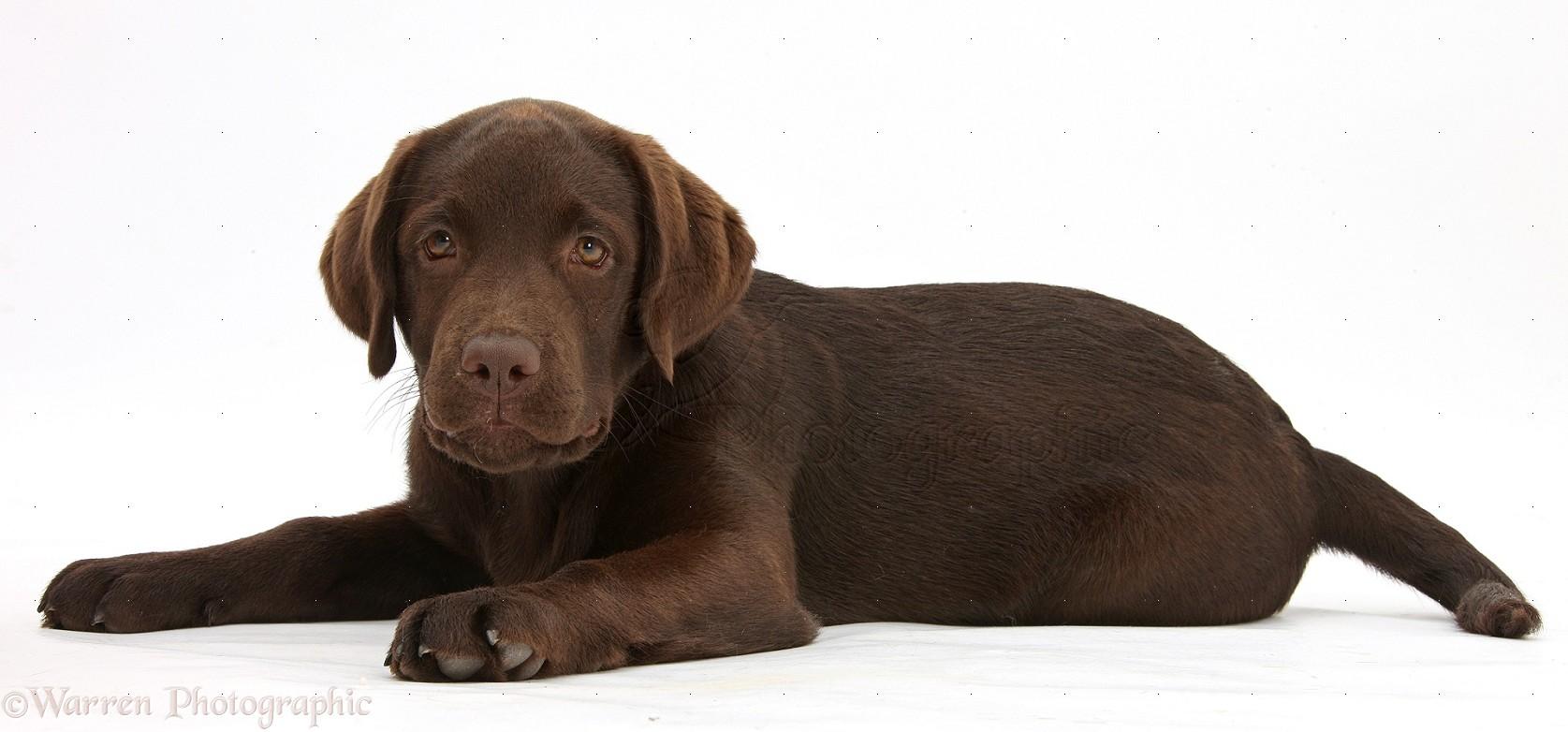 29422 Chocolate Labrador pup white backgroundjpg 1675782 pixels 1675x782