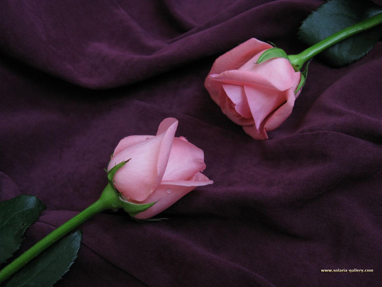 Wallpaper Originals provides original Roses desktop wallpapers 1365x1024