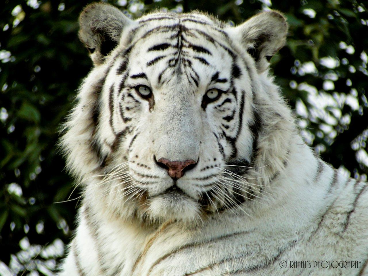 white tiger pdf free download