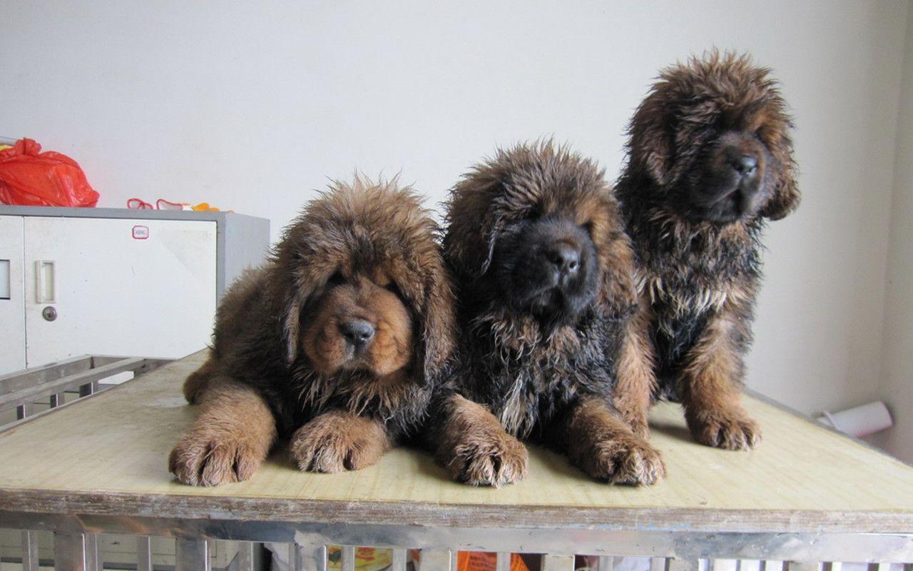 Download tibetan mastiff puppies pictures 1280x800 hd Animals