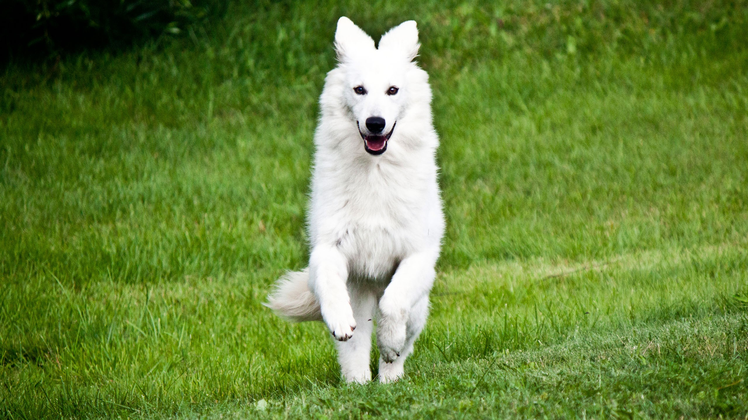Beautiful White German Shepherd HD Wallpaper For Desktop 2560x1440