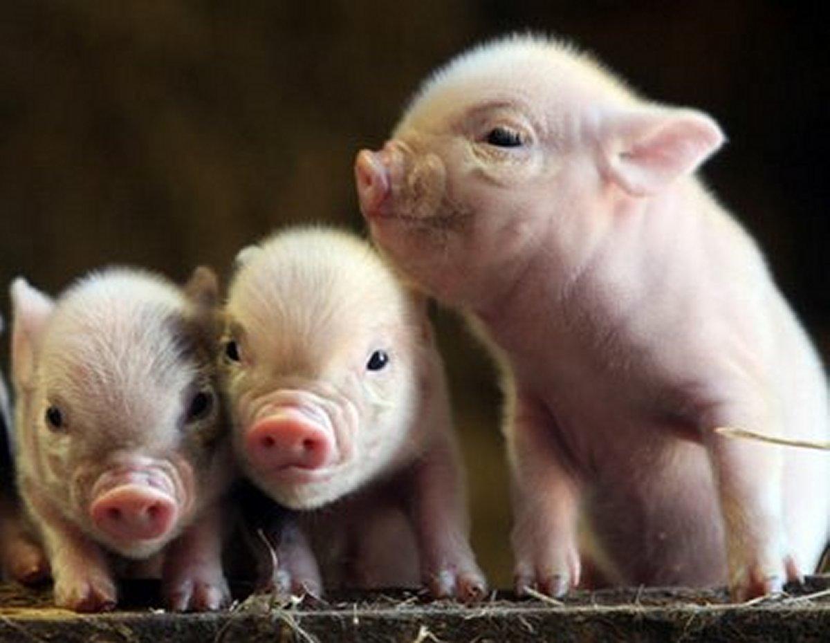 BABY PIGS WALLPAPER   49754   HD Wallpapers   [desktopinHQcom] 1200x930