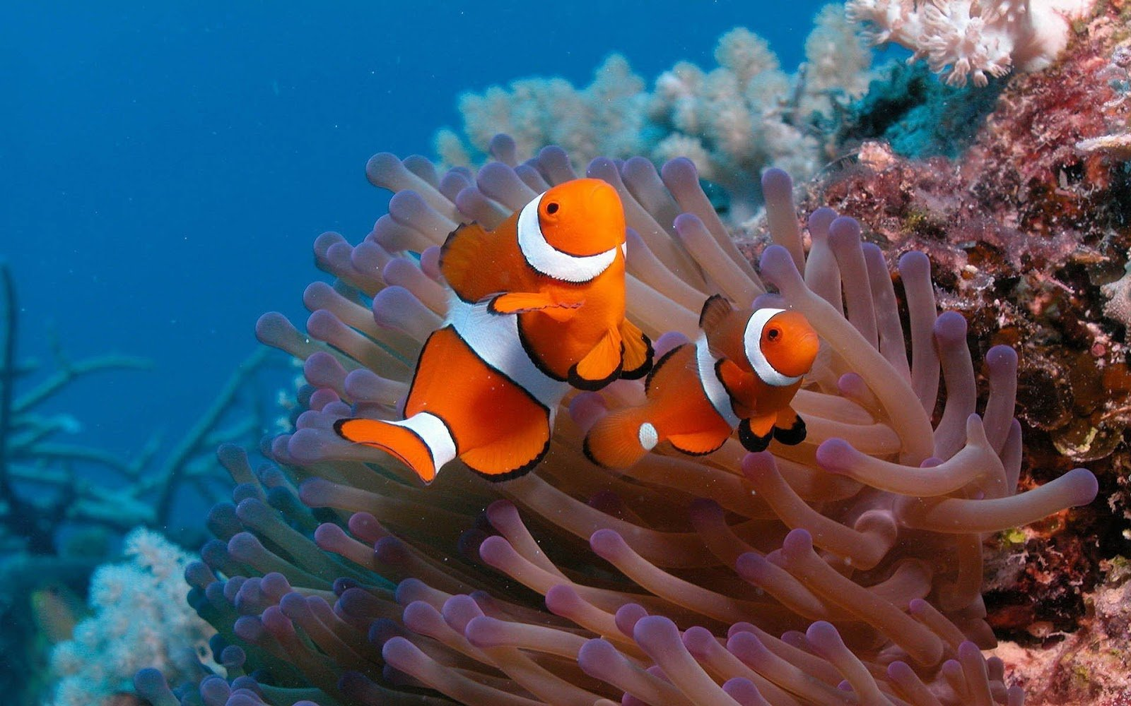 Wallpaper of two clown fish on the ocean floor HD animals wallpapers 1600x1000