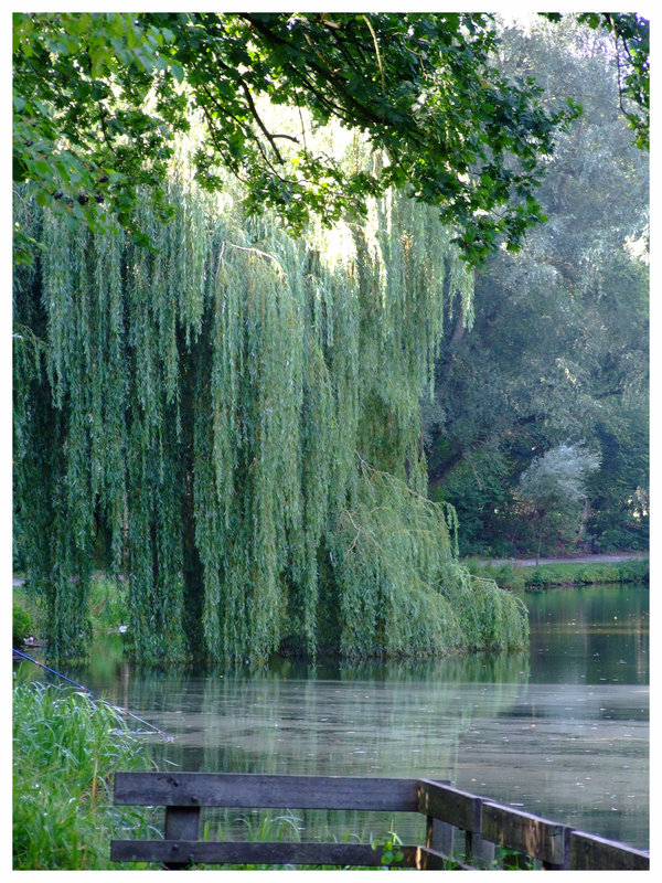 Weeping Willow Tree Wallpaper Weeping willow by inbalance 600x800