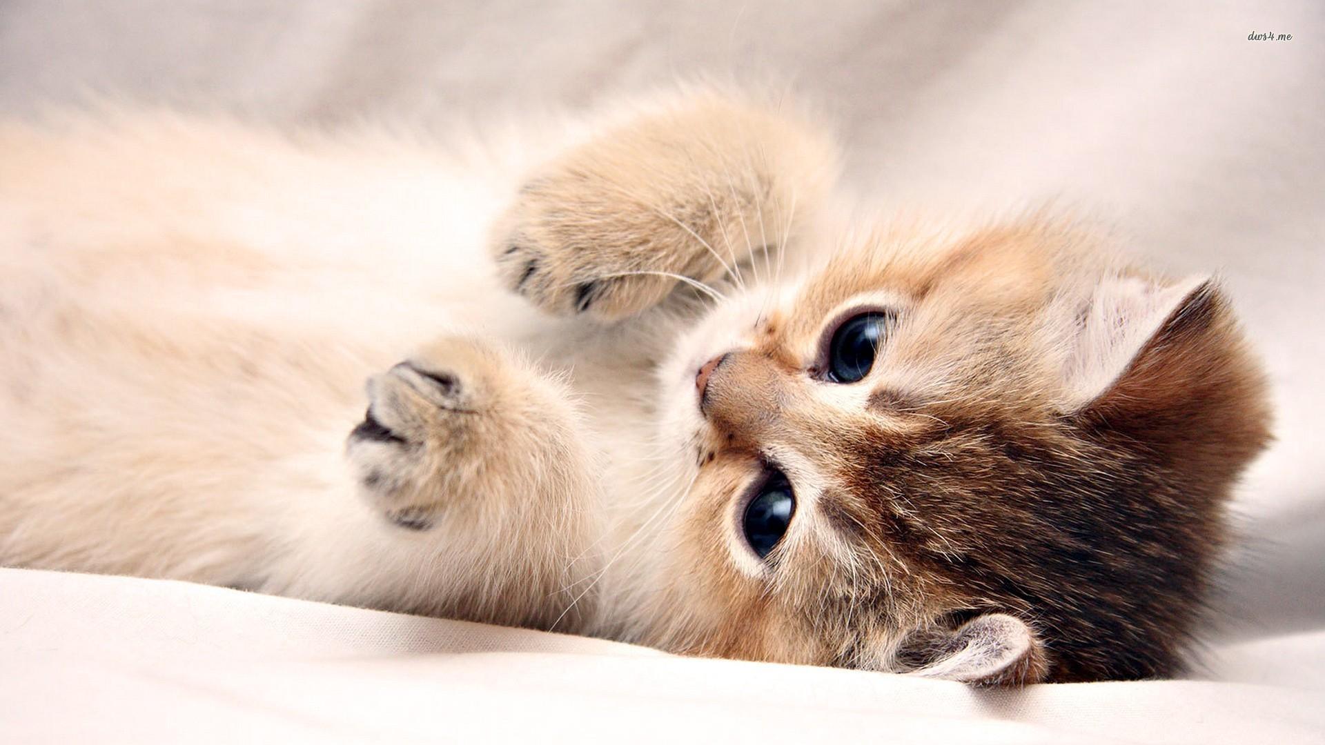 kitten pictures wallpapers 56 wallpapers