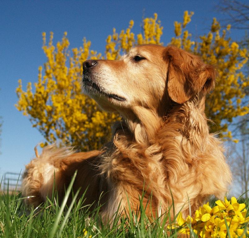 dog Golden Retriever Spring has sprung Animals Dogs HD Wallpaper 800x762