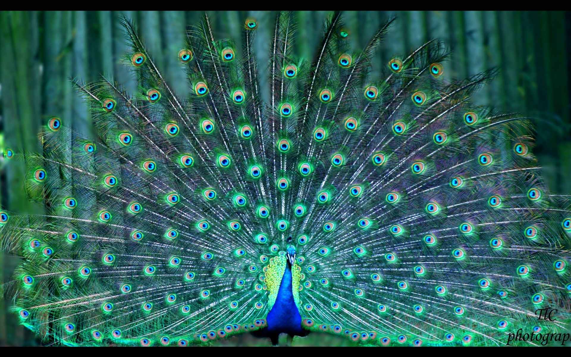 Free Download Peacock Full Hd Wallpaper And Background Image 1920x1200 1920x1200 For Your Desktop Mobile Tablet Explore 90 Peafowls Wallpapers Peafowls Wallpapers