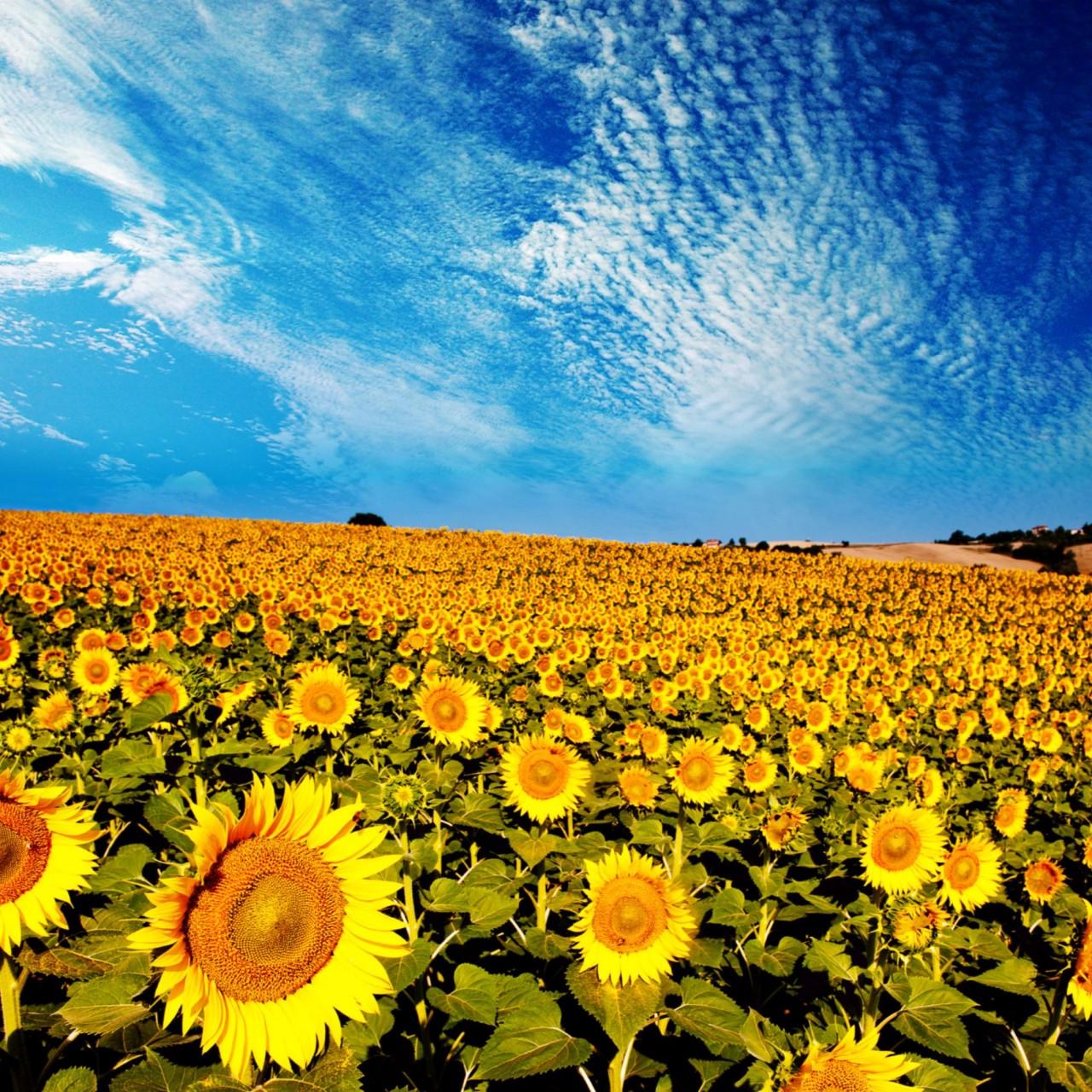 Beautiful Summer Sunflower 4K Wallpaper 4K Wallpaper 1280x1280