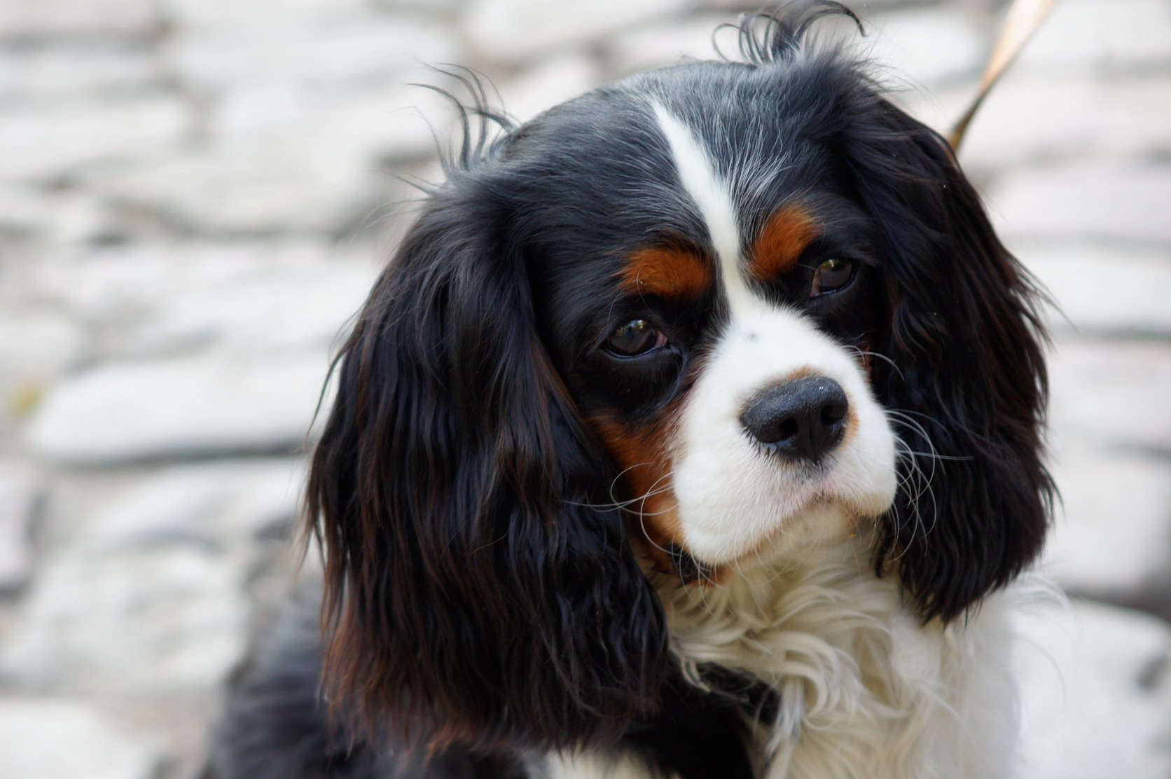 Free Download Cavalier King Charles Spaniel Dog Breeds Pictures