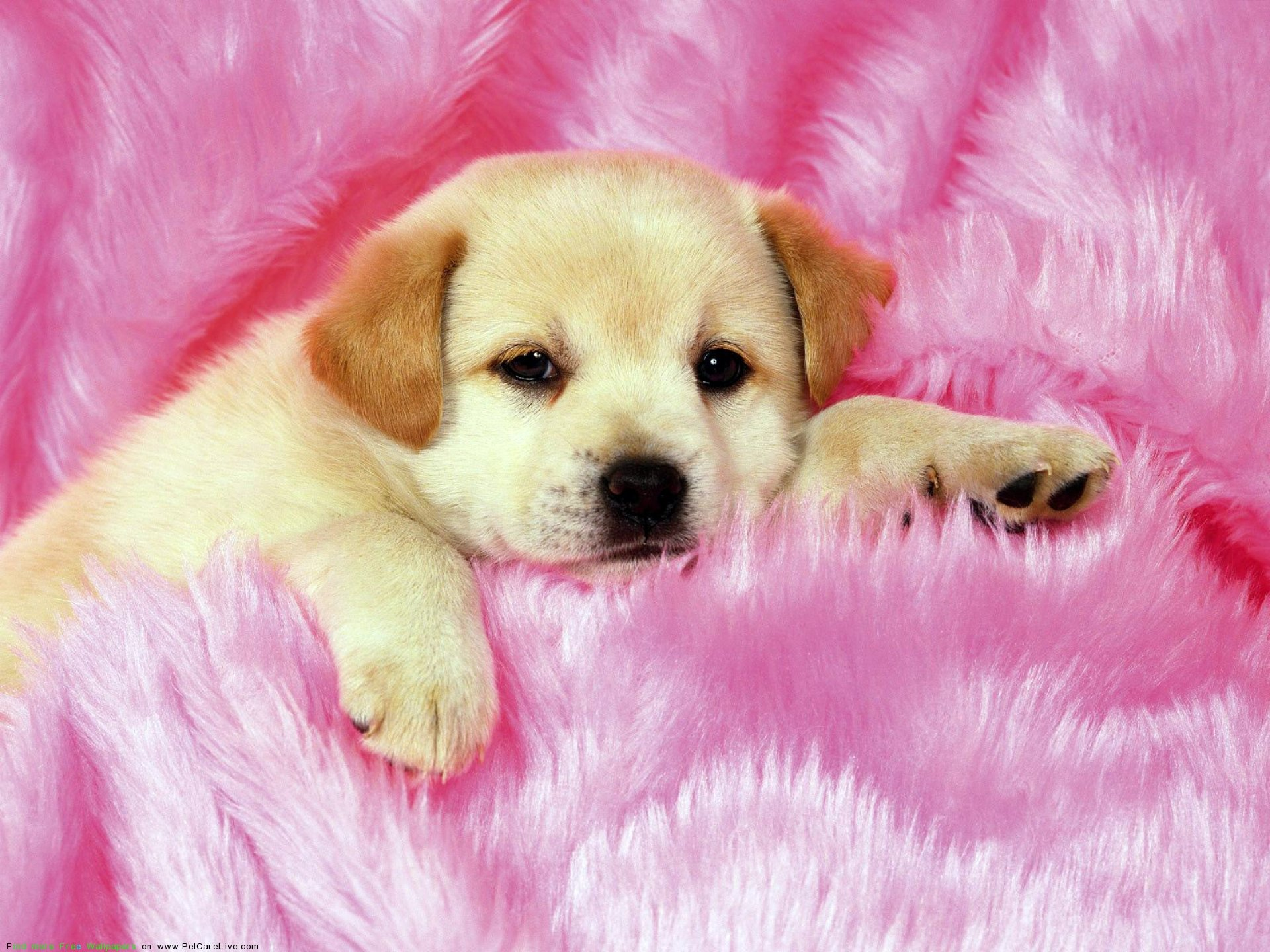 The Little cute Dogs Puppies desktop wallpaper pictures for PC 1920x1440