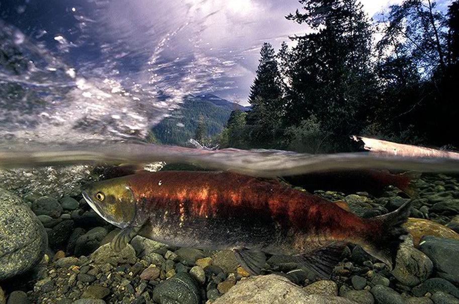 salmon wallpaper   ForWallpapercom 913x605