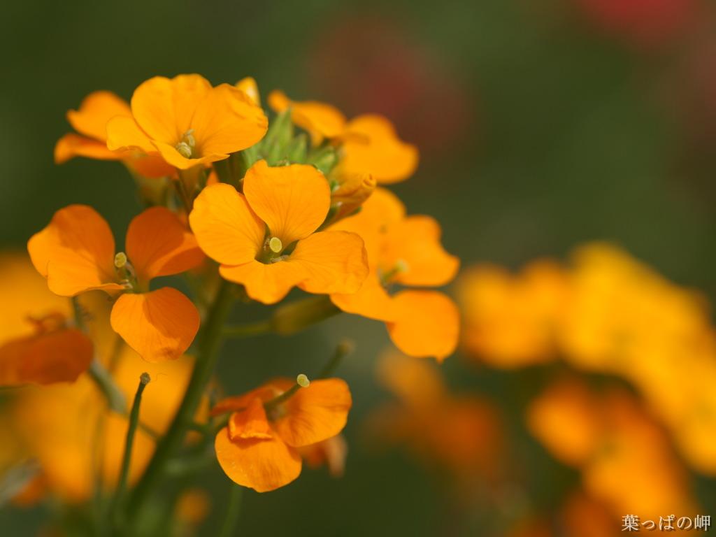 orange flower wallpaper orange flower wallpaper orange flower 1024x768