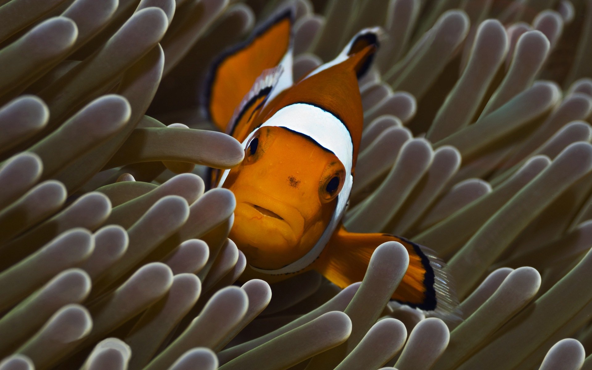 Beautiful Clown Fish and Anemone Pictures HD Wallpapers Animals 1920x1200