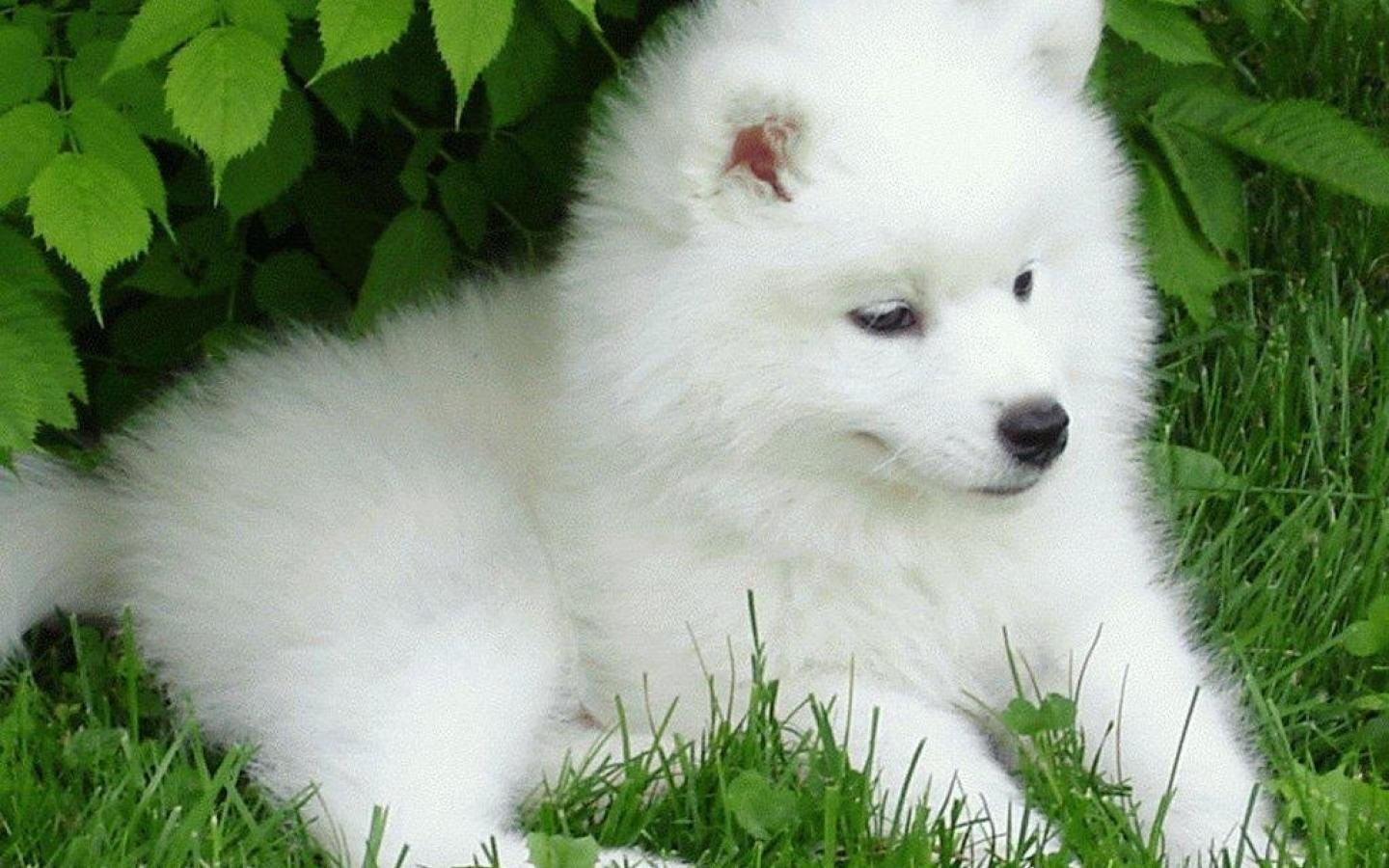 Dogs Samoyed Baby Canine Puppy Dog Wallpaper Hd Wallpapers   Dog 1440x900