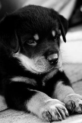comkindle dxanimalsdogsrottweiler puppy screensaver 333x500