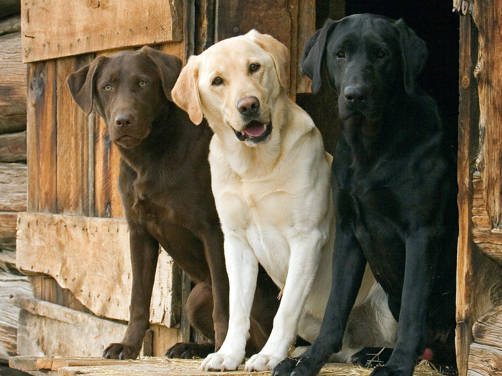 Dogs Labrador Wallpaper 1600x1200 Dogs Labrador Retriever 1600x1200