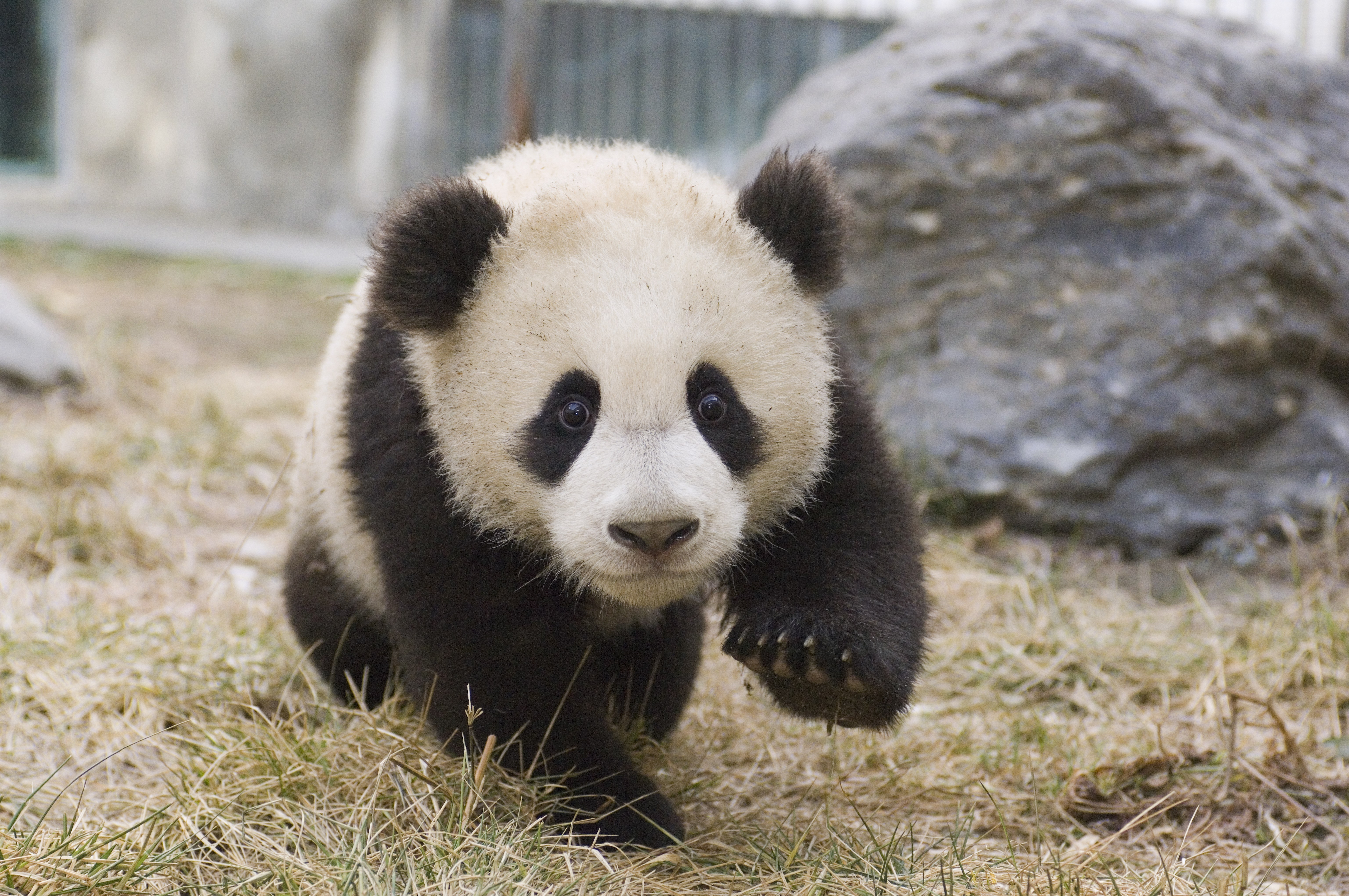 Visit Adorable Baby Cubs at Chinas New Panda Center   Cond Nast 6144x4081