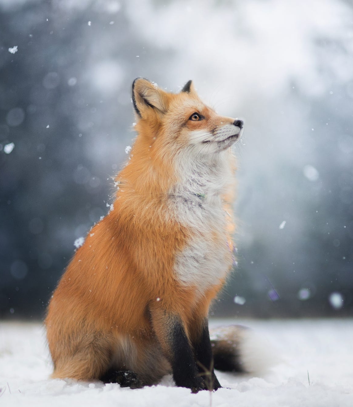 30 Red Fox Wallpapers On Wallpapersafari